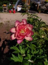 Peony Julia Rose (fragrant)