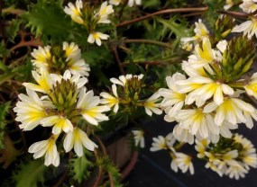 Scaevola Fan Flower