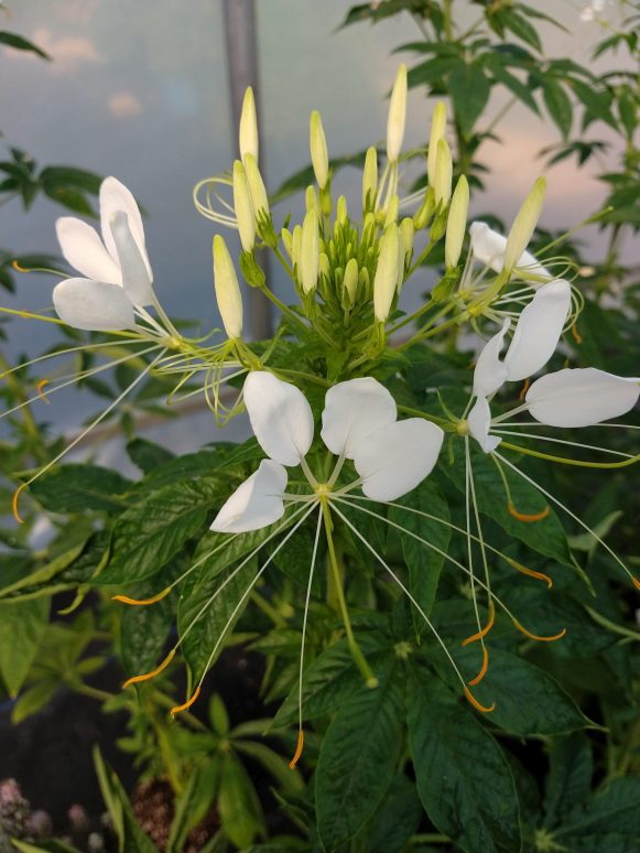 Cleome Helen Campbell