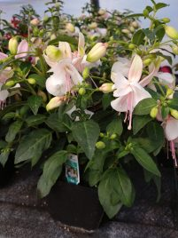 Fuchsia Upright Windchimes White