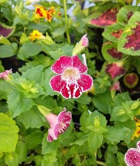 Monkey Flower Mimulus