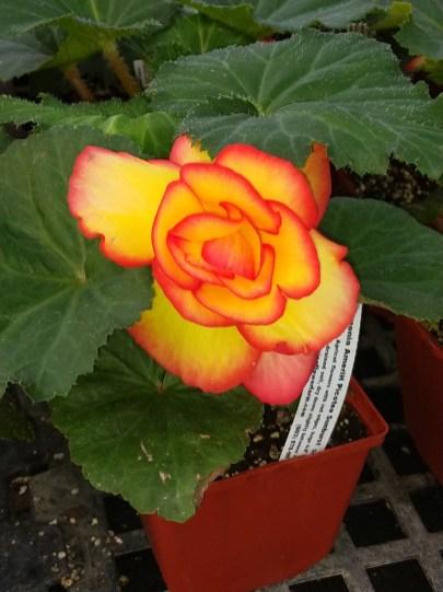 Begonia AmeriH Picotee Sunburst