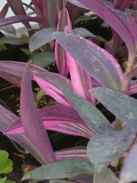 Setcresia Purple Queen