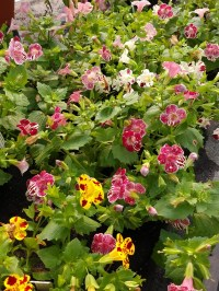 Mimulus Monkey Flower