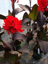 Canna Canova Bronze Scarlet - loves summer heat