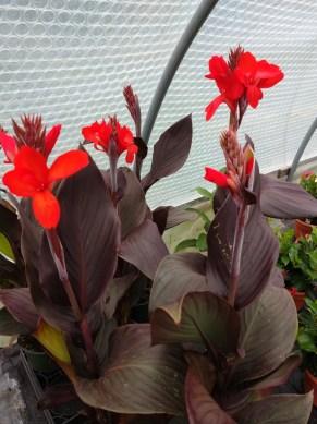 Canna lily Canova Bronze Scarlet