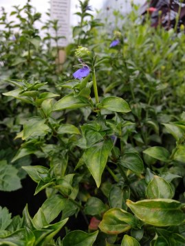 Rungia klossii - Mushroom Plant (edible)