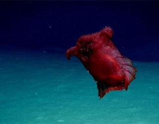 """HEADLESS """"Chicken of the Sea"""" Monster Photographed"""
