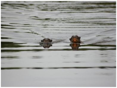 Otters during a tour in the Tambopata Amazon Reserve Peru