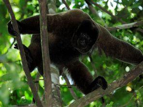 Wooler monkey in Manu Amazon Reserve Peru
