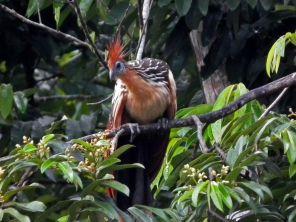 Hoatzin Tambopata TRC Amazon tour Peru