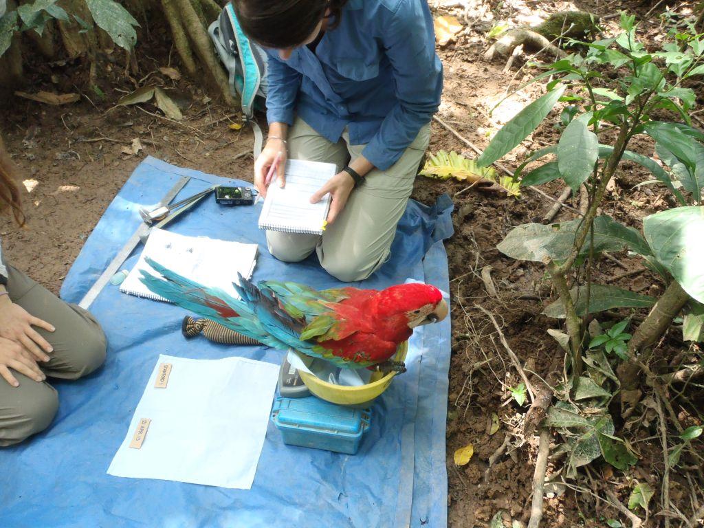Macaw at the TRC Tambopata Amazon Lodge in Peru