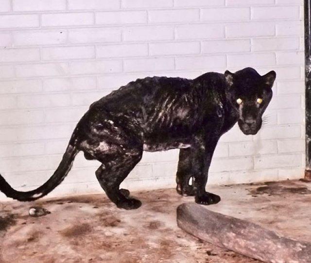 Black Jaguar In Captivity Suffering From Malnourishment