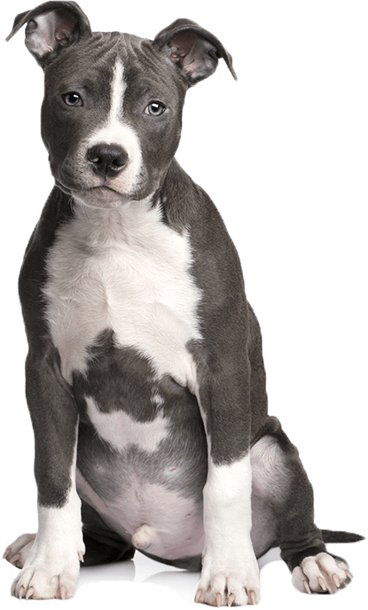 Strong cute pitbull showing the power of Pet Care Products