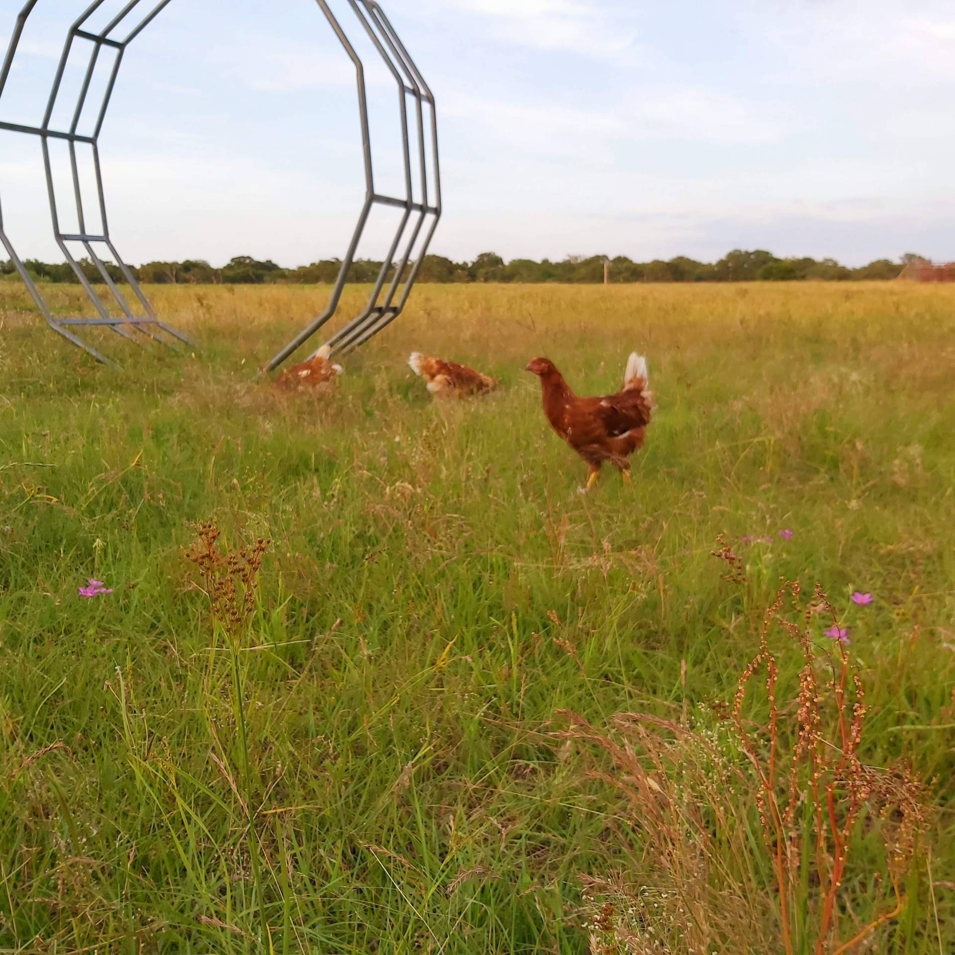 Red Sex Link Hens on Pasture