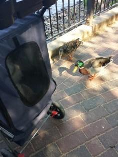 caico new hope ducks (37)