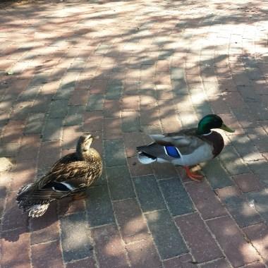 caico new hope ducks (43)