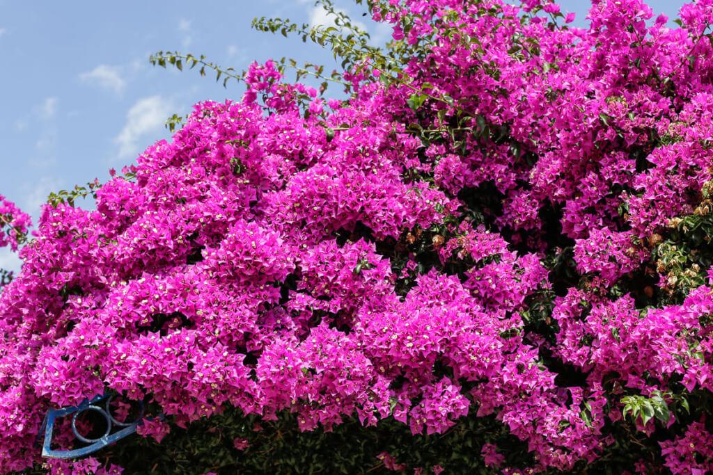 Bougainvillea als Kletterpflanze  Siegbert Mattheis