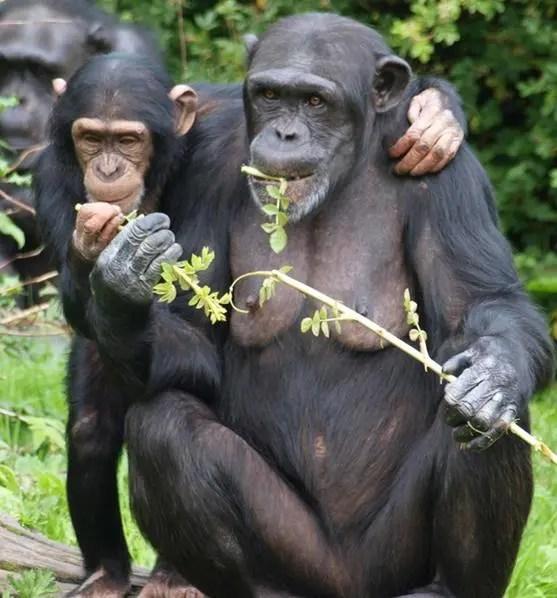 3 rimedi naturali che possiamo imparare dalle scimmie  Ambiente Bio
