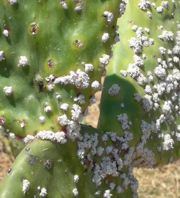 Cocciniglia 5 rimedi naturali per liberarcene  Ambiente Bio