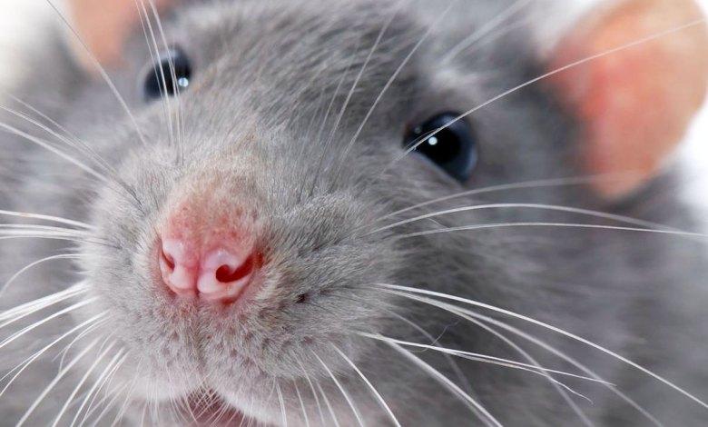 roedores enemigo del cableado