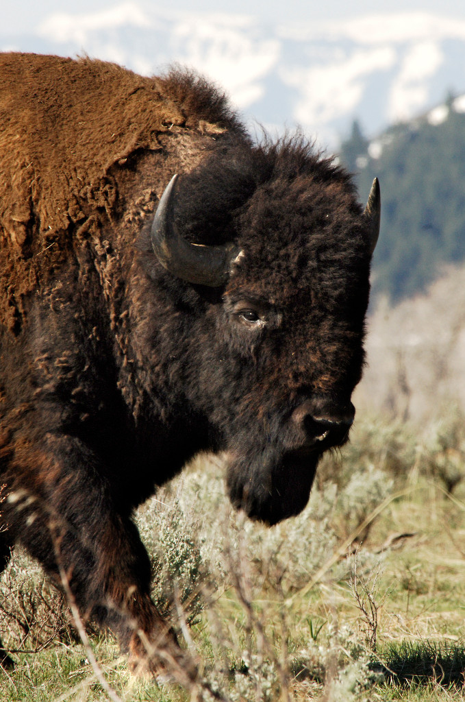 american bison society home