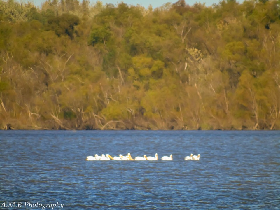 White pelicans on the Illinois River from far away, near Peoria, IL.