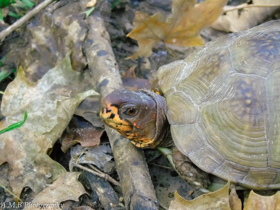 A close-up of a three-toed box turtle. He has a bright yellow to orange nose/mouth.