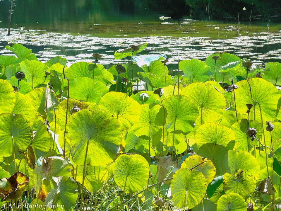 Lily Pads post flowering, with the sunlight brightly shining through, highlighting the greens and yellows.