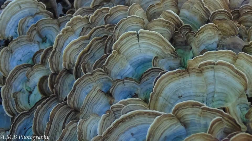 A gigantic cluster of shelf mushrooms, found on a tree stump.