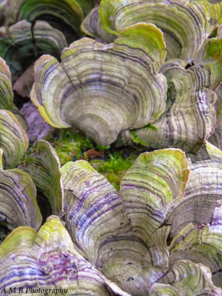 Green and purple striped shelf fungi growing on a fallen tree.
