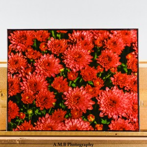 An 8x10 inch artisan canvas of my image Red Mums. Image captured in the late Summer of 2017 and canvas created in the Fall of 2018.