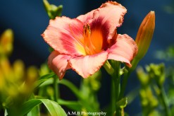 I just love the varieities of daylilies we have growing in our home garden in Peoria, Illinois. Captured the Summer of 2017.