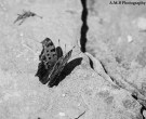 This cute little moth visited us creekside by the Remants of Spring Lake at a park in Streator, Illinois. A macro shot in black and white, captured the Summer of 2017.