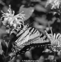 This lovely Swallowtail greeted us on our recent visit to one of our favorite State Parks in Illinois. Captured the Summer of 2017.