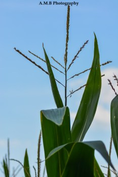 Corn growing behing out home in Dana, IL. Captured in the Summer of 2017. It's getting ready to dry out and be harvested.