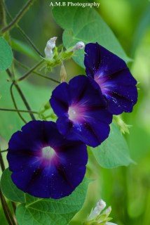 Three gorgeous purple morning glories growing along our fnece line in Peoria, Illinois. Captured the Summer of 2017.