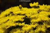 A macro shot of yellow mums I recently planted along the sidewalk leading to our front door. Captured in the late summer of 2017.