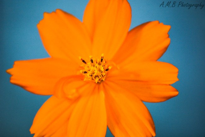 This tiny, little orange cosmos has the cutest curly petal coming off the bottome left side. Captured in my home garden in the Summer of 2019.