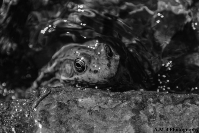 This nice frog let me take several shots while it was searching for food or seeking reprieve from the warmth. Captured in Matthiessen State Park in the Spring of 2019 on a nature hike.