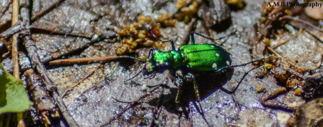 A couple of these tiny, shiny green beetles were going along with us on our hike at Matthiessen State Park in the Spring of 2019. They are called common tiger beetles.