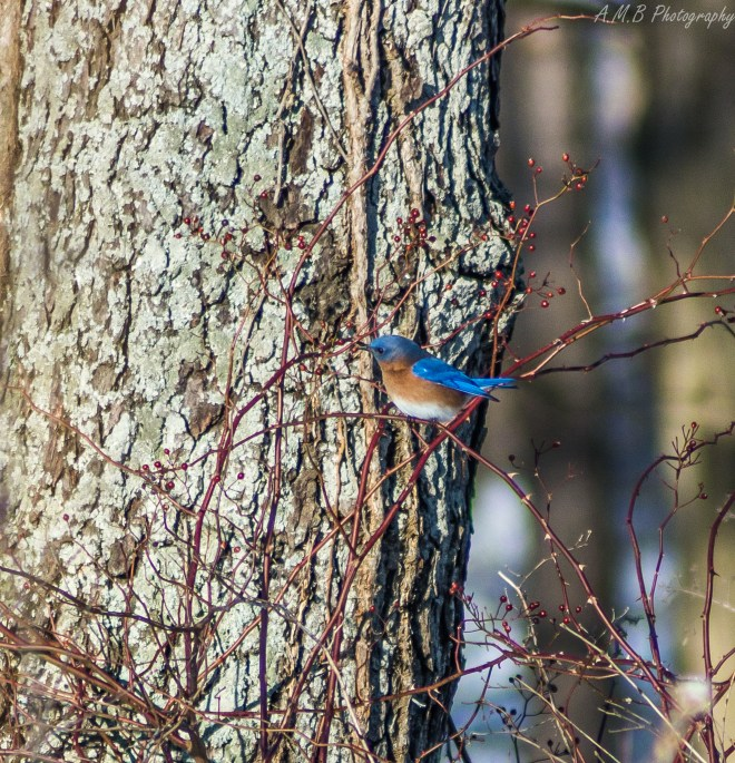 I came across an awesome flock of Eastern Bluebirds on a hike in the beautiful Merwin Nature Preserve near Lexington, Illinois during the Winter of 2020.