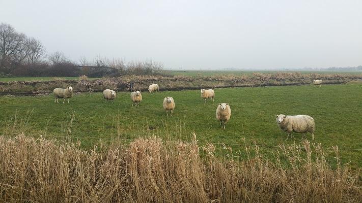 Wandelen over het Groot Frieslandpad langs schapen in weiland in Nij Beets