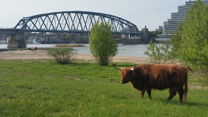Wandelen over de Zuiderwaterlinie bij een Schotse Hooglander bij de Waalburg aan de Waal in Nijmegen