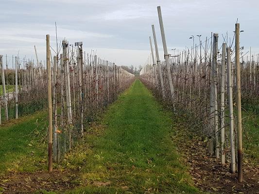 Wandelen over klompenpad Doddendaelpad door boomgaard in Beuningen