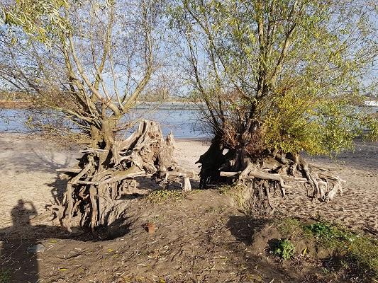 Wandelen over klompenpad Doddendaelpad langs bomen in uiterwaarden van de Waal