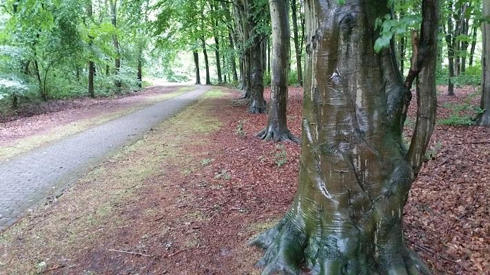 Wandelen over het Groot Frieslandpad langs beuken in Borgerspark in Veendam