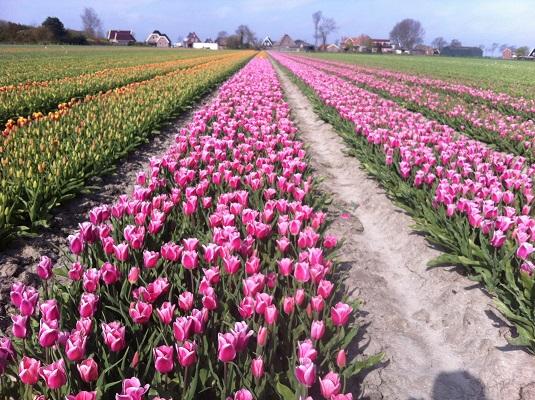 Wandelen over het Groot Frieslandpad door de bollenvelden bij Het Rijpje