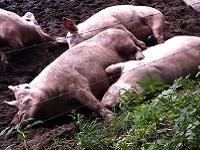 Varkens bij Overesch tijdens de dagwandeling Nijenhuis over het Hanzestedenpad