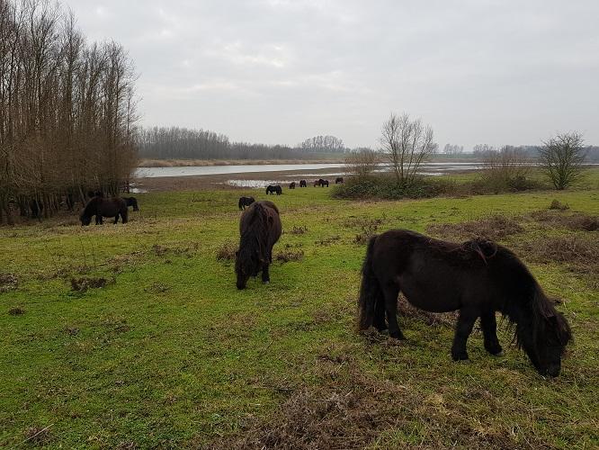 Pony's in de Breemwaard op een wandeling op Klompenpad Nywelepad bij Gameren